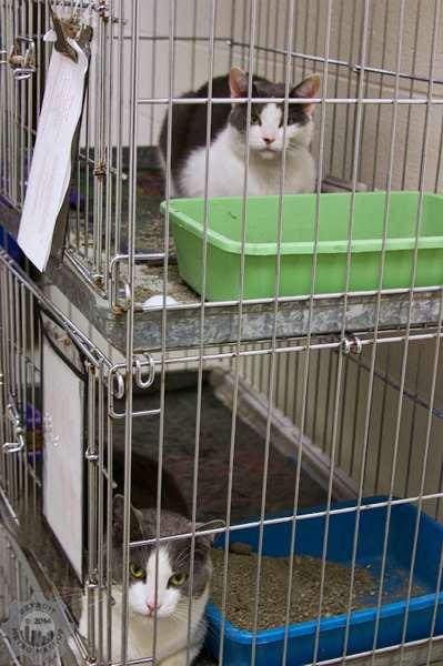 2014 Cat Adoption at the Animal Control and Pet Adoption Center - Auburn Hills, MI